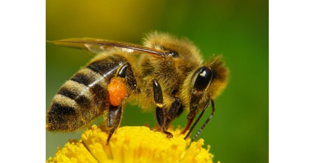 """Kışa dayanıklı """"Süper bal arıları"""" geliyor! Bal fiyatları ucuzlayacak mı?"""