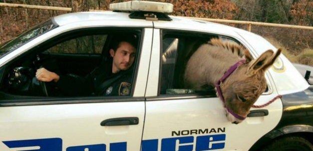 ABD'de bir eşek gözaltına alındı!