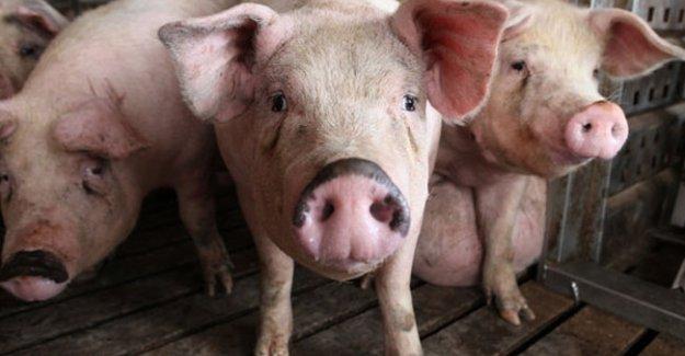 Danimarka'da zorunlu domuz yemeği!