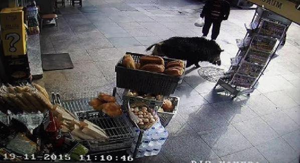 Beykoz'da domuz paniği! 1 kişi yaralı