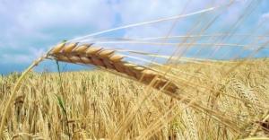 Uçak krizi Türkiye'ye yaradı, Rusya buğday fiyatını indirdi